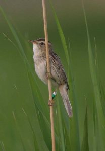 Colour-ringed Aquatic Warbler. Karsiborska Kepa, Poland, July 2006. Photo: Gerard Dopler