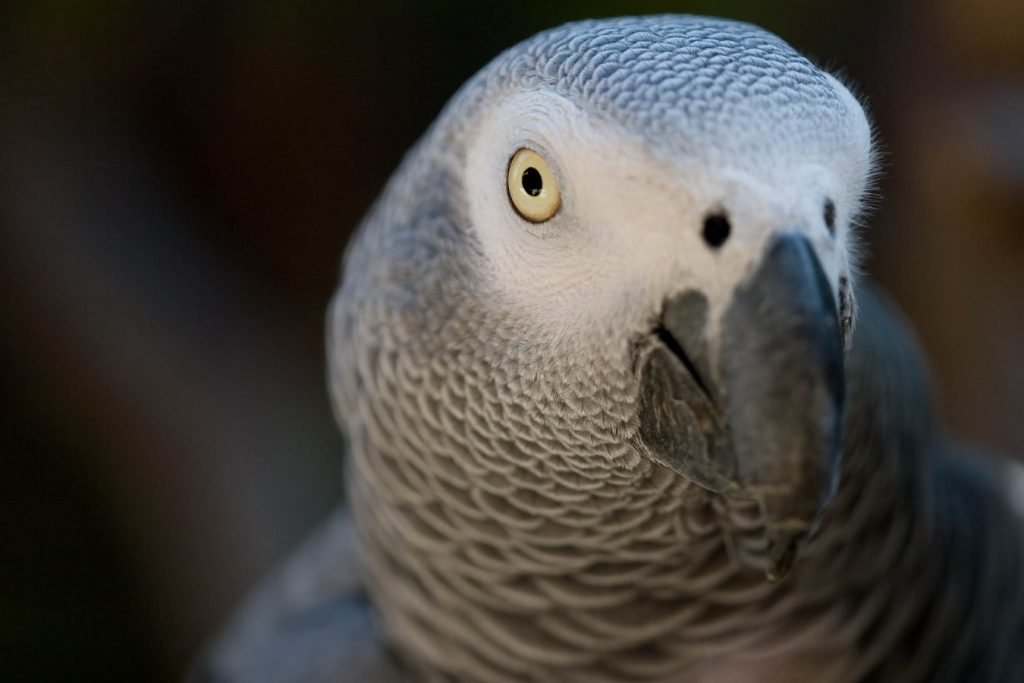 Papuga żako, Ken Schwarz, Flickr