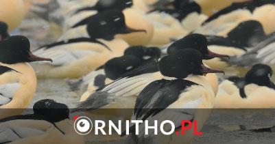 ornitho3